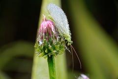 El Lacewing vuela Fotos de archivo