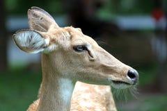 El lado de los ciervos principales. Foto de archivo libre de regalías