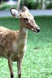 El lado de los ciervos principales. Fotos de archivo libres de regalías