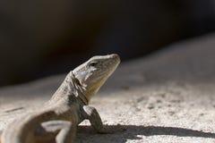 El lagarto Imágenes de archivo libres de regalías