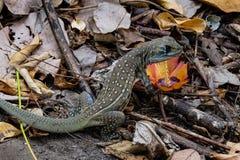 El lagarto Fotografía de archivo