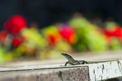 El lagarto Imagen de archivo libre de regalías