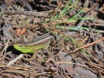 El lagarto Foto de archivo