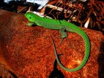 El lagarto Foto de archivo libre de regalías