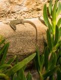 El lagarto catalán de la pared que toma el sol encendido practica obstruccionismo fotografía de archivo libre de regalías