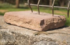 El lagarto catalán de la pared que toma el sol encendido practica obstruccionismo imagen de archivo libre de regalías