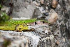El lagarto coge un poco de sol en la roca imagen de archivo libre de regalías