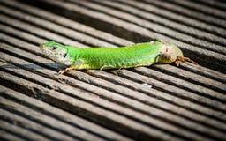 El lagarto coge un poco de sol en el muelle fotos de archivo