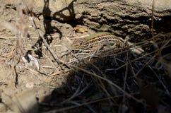 El lagarto crimeo Imagen de archivo