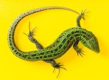 El lagarto de arena Fotografía de archivo