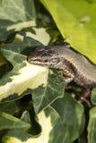 El lagarto de arena Fotografía de archivo libre de regalías