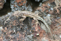 Lagarto de cerca occidental (occidentalis del Sceloporus) Fotografía de archivo libre de regalías