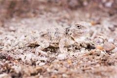 El lagarto de cuernos del desierto (platyrhinos del Phrynosoma) es una especie o Foto de archivo