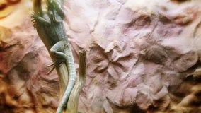 El lagarto de dragón almacen de video