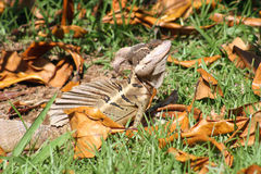 El lagarto de Jesús Fotografía de archivo