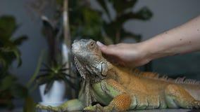 El lagarto de la iguana con las garras grandes se sienta en el cuarto La muchacha frota ligeramente su reptil del animal doméstic almacen de metraje de vídeo