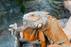 El lagarto de la iguana se sienta en una rama Fotos de archivo