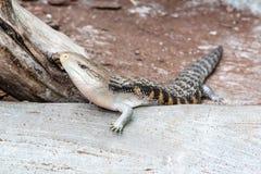 El lagarto del escalamiento revuelve adelante Fotografía de archivo libre de regalías