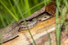 El lagarto el dormir Fotos de archivo