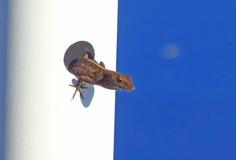 ¡El lagarto empuja la cabeza fuera de un agujero! Fotografía de archivo