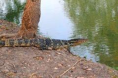 El lagarto gigante está caminando al río imagen de archivo libre de regalías