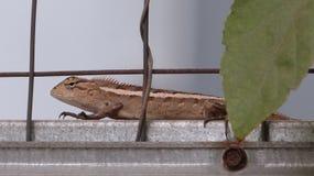 El lagarto indonesio fotografía de archivo libre de regalías