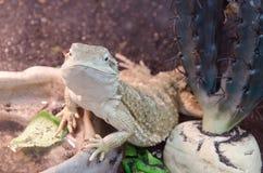 El lagarto le está mirando Fotografía de archivo