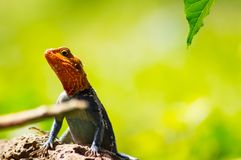 El lagarto llamó a colonos del agame en la sabana del parque de Amboseli adentro foto de archivo