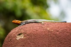 El lagarto llamó a colonos del agame en la sabana del parque de Amboseli adentro foto de archivo libre de regalías