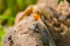 El lagarto llamó a colonos del agame en la sabana del parque de Amboseli adentro imagenes de archivo