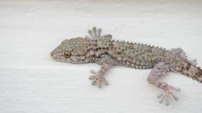 El lagarto moro del mauritanica de Tarentola de la salamandra todavía permanece en la pared blanca almacen de video