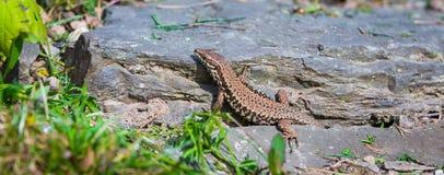 El lagarto se arrastra en la sol Fotografía de archivo