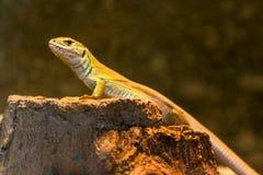El lagarto se coloca en una roca Fotografía de archivo libre de regalías