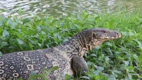 El lagarto se relaja y dormita en Riverbank almacen de metraje de vídeo