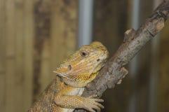 El lagarto se sienta en una rama Foto de archivo