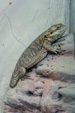 El lagarto se sienta en una roca Imágenes de archivo libres de regalías