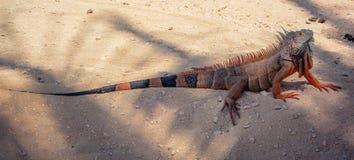 El lagarto supervisa reptiles Foto de archivo