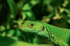 El lagarto verde europeo Fotografía de archivo