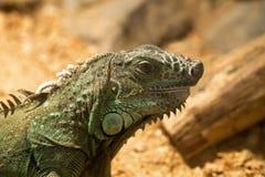 El lagarto verde grande Fotografía de archivo