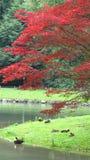 El lago con los patos y el rojo deja el árbol en Munich Imagenes de archivo