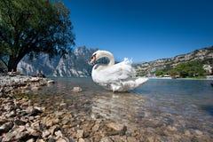 El lago del cisne fotografía de archivo libre de regalías