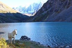 El lago más bajo del shavlinskoe y el caballo blanco Foto de archivo