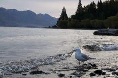 La gaviota del lago Wakatipu Fotografía de archivo