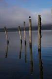 La gaviota del lago Wakatipu Foto de archivo
