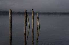 La gaviota del lago Wakatipu Foto de archivo libre de regalías