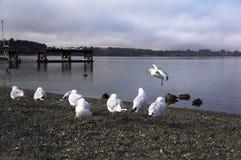 La gaviota del lago Wakatipu Fotografía de archivo libre de regalías