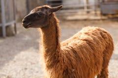El lama Imagenes de archivo