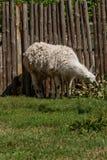 El lama blanco come Fotografía de archivo libre de regalías