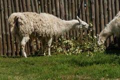 El lama blanco come Foto de archivo