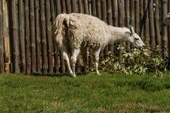 El lama blanco come Fotografía de archivo